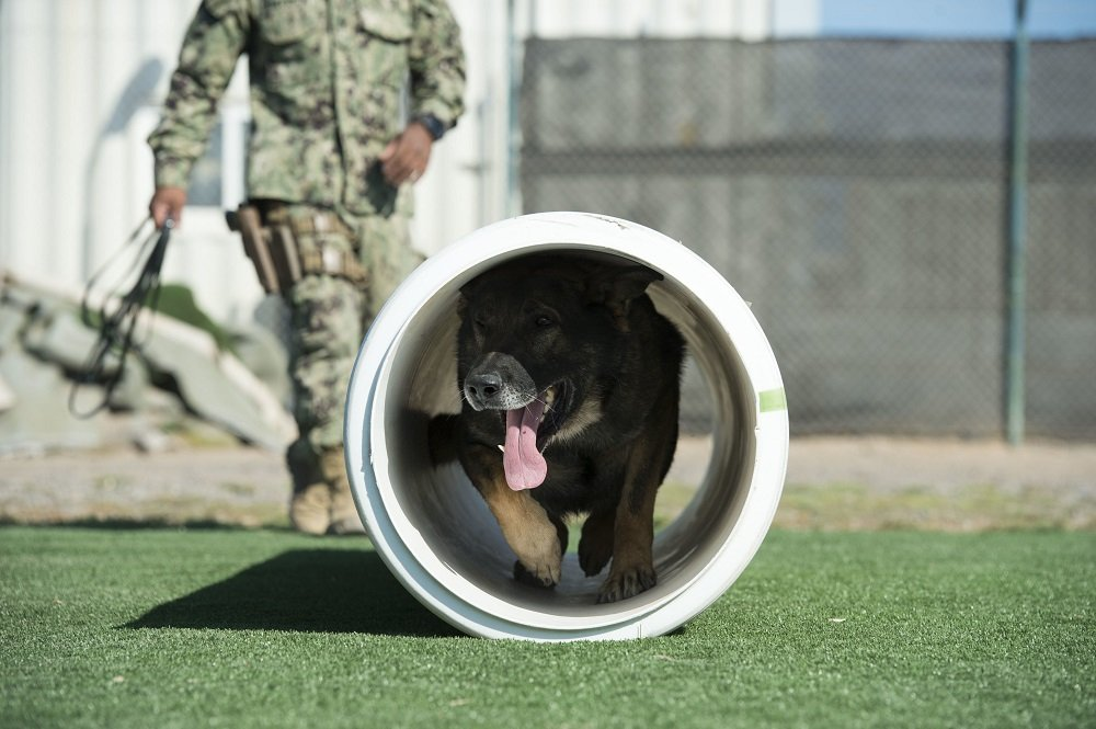 Military Working Dog runs the agility course